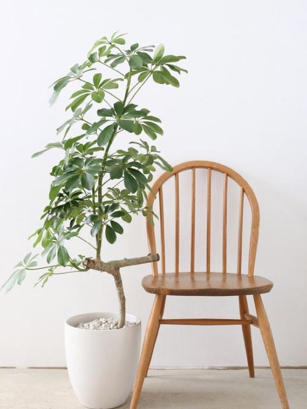 Umbrella_plant